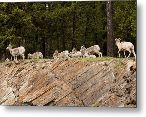 Mountain Sheep 1673 Metal Print by Larry Roberson
