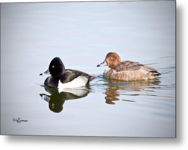 Mr And Mrs Ring-neck Metal Print