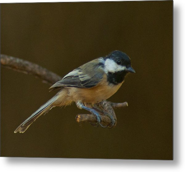Multicolored Chickadee Metal Print by Don Wolf