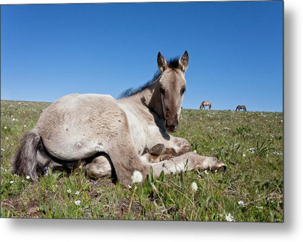 Mustang Foal Up Close Metal Print
