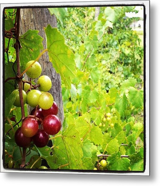 My #grapes Are Starting To Ripen! Metal Print
