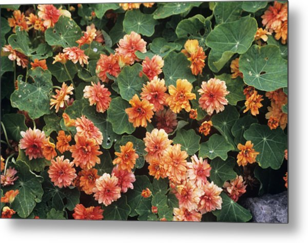 Nasturtium (tropaeolum 'margaret Long') Metal Print by Adrian Thomas
