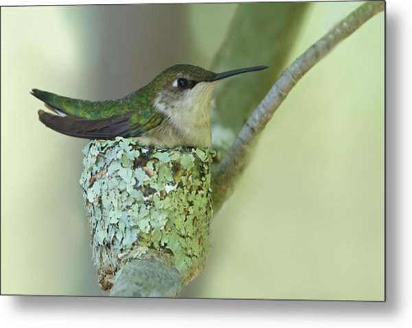 Nesting Ruby-throated Metal Print