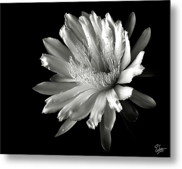 Night Blooming Cereus In Black And White Metal Print