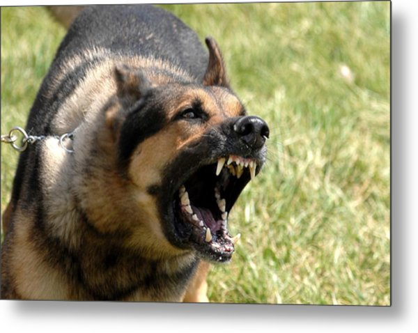 Norman A Military Working Dog Waits Metal Print