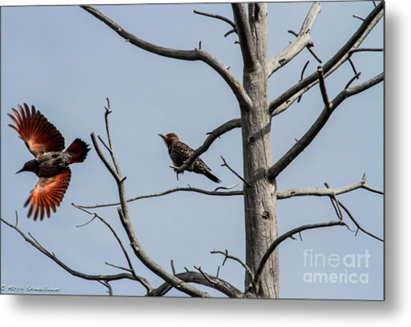 Northern Flickers Metal Print
