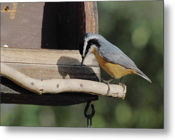 Nuthatch Opening Sunflower Seed Metal Print