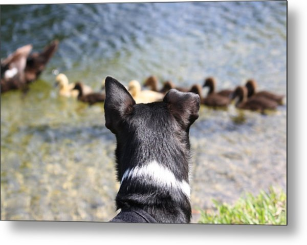 Oh He Wants To Play With Ducks Metal Print by Andrea  OConnell