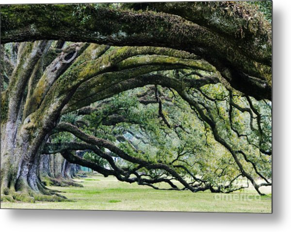 Old Growth Trees Metal Print by Jeremy Woodhouse