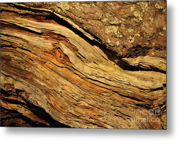 Old Pine Metal Print by Conny Sjostrom