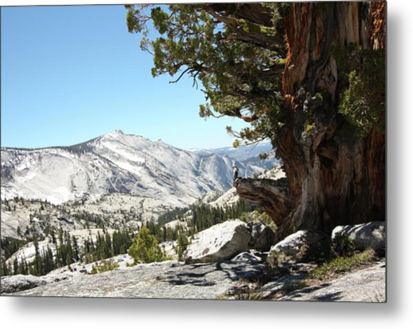 Old Tree At Yosemite National Park Metal Print by Mmm