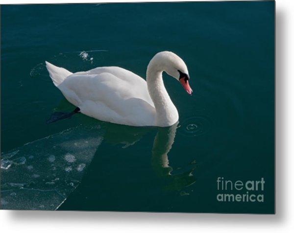 One Swan A-swimming Metal Print