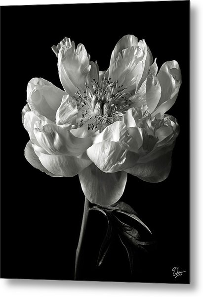 Open Peony In Black And White Metal Print
