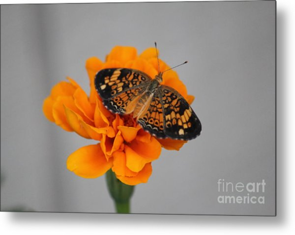Orange Butterfly 1 Metal Print
