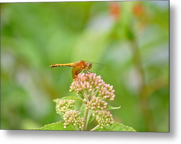 Orange Dragonfly Metal Print