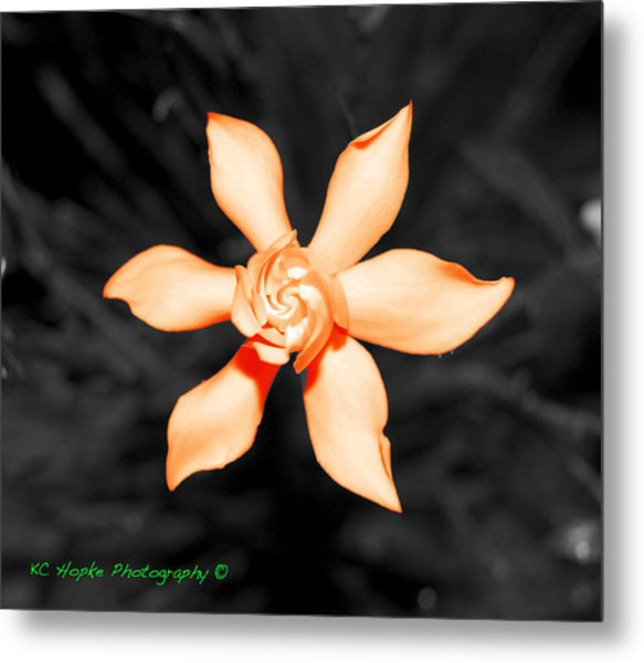 Orange Gardenia Bonsai Metal Print by Adam Hopke