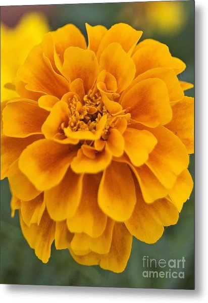 Orange Marigold Metal Print