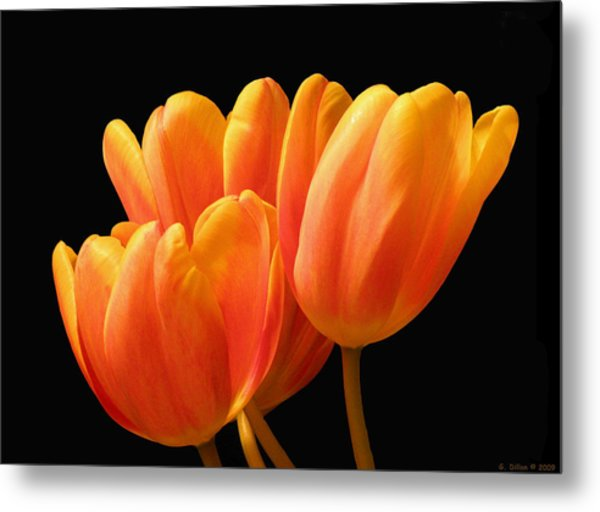 Metal Print featuring the photograph Orange Tulips On Black by Grace Dillon