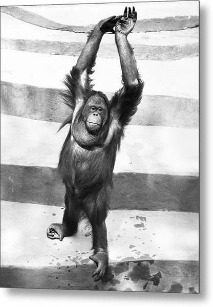 Orangutan W/arms Up Metal Print by George Marks