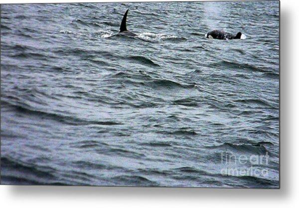 Orca Whales Metal Print by Derek Swift