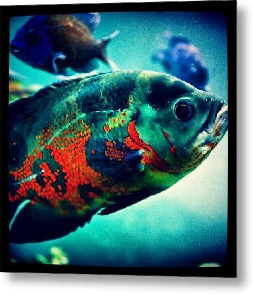 #oscar #fish #aquarium #instafish Metal Print