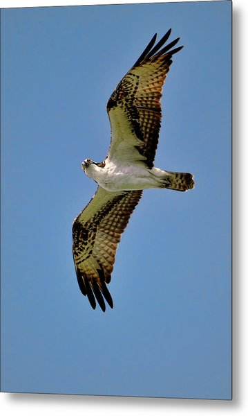 Osprey Above Metal Print