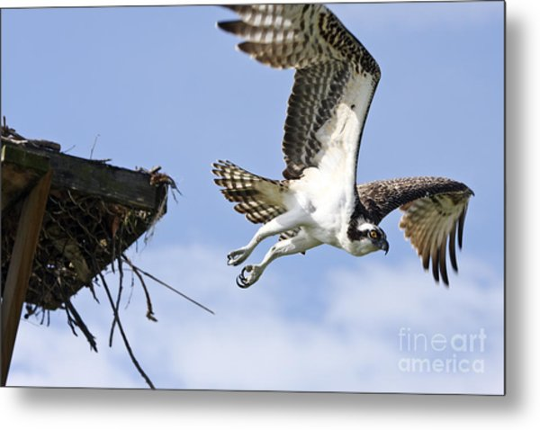 Osprey Flying From Nest Metal Print by John Van Decker