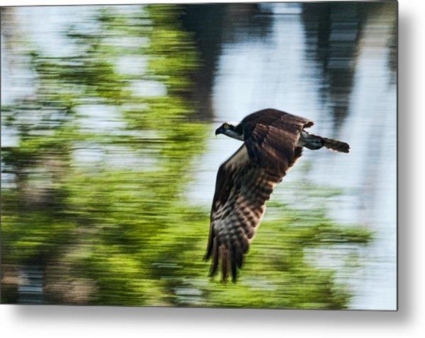 Osprey In Flight Metal Print by Frank Feliciano
