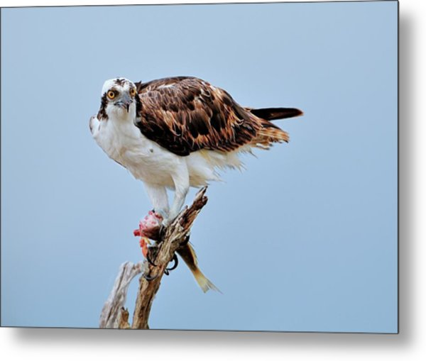 Osprey In The Morning Metal Print