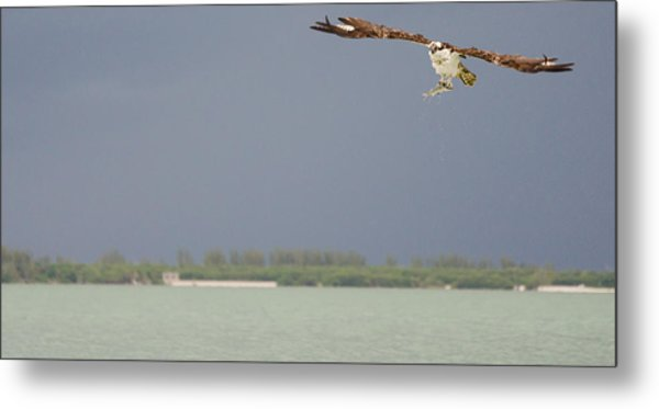 Osprey With Catch Metal Print by Mike Rivera