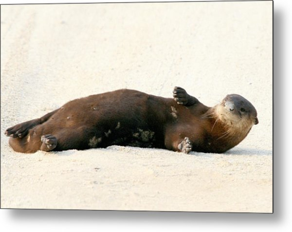 Otter In The Road Metal Print