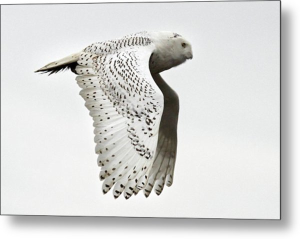 Owl In Flight Metal Print by Pierre Leclerc Photography