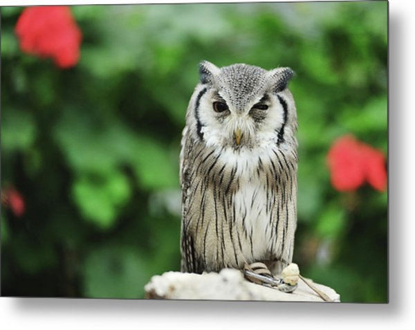Owl With Blurred Background Metal Print by Copyrights(c) All rights reserved by Haruhisa Yamaguchi