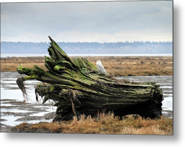 Owls At Boundary Bay Vancouver Metal Print by Pierre Leclerc Photography