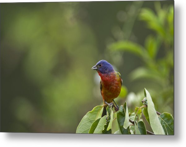 Painted Bunting - 1793 Metal Print