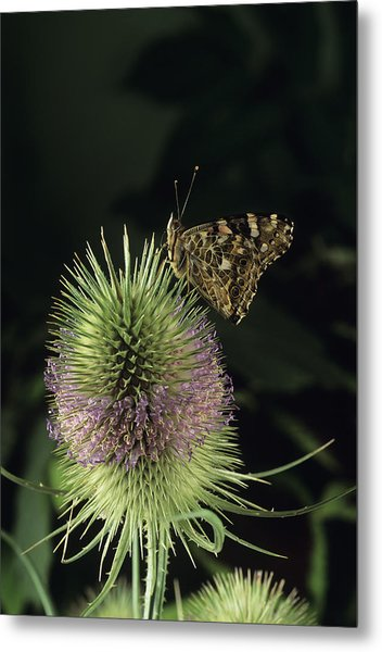 Painted Lady Butterfly Metal Print by David Aubrey