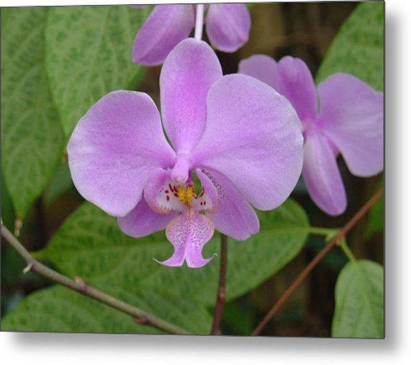 Pale Pink Orchid Metal Print