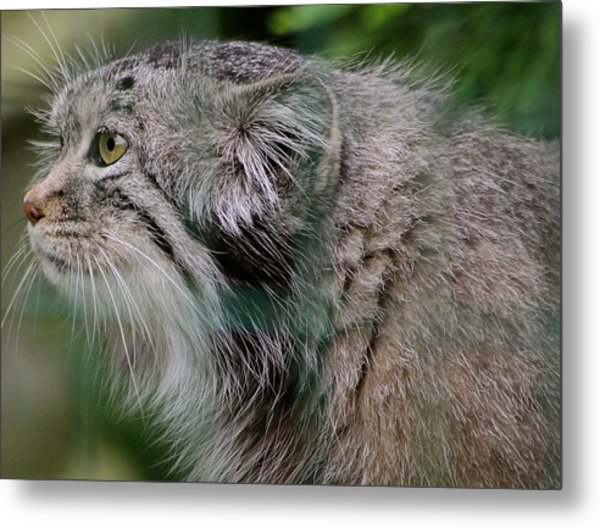 Pallas Cat Metal Print by Karen Grist