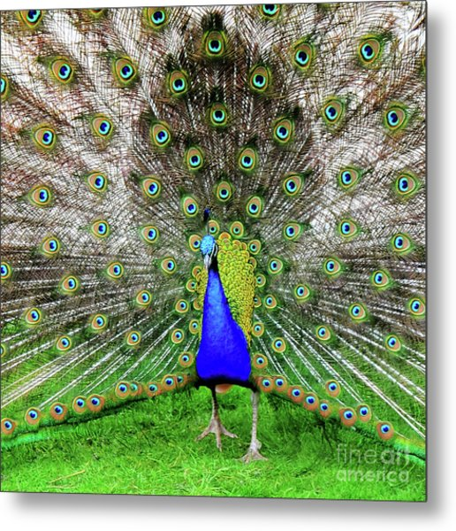 Park Rose Peacock Metal Print
