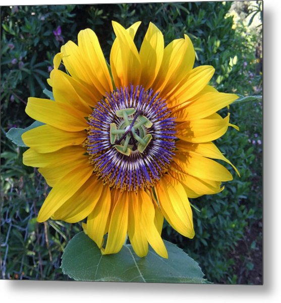 Passion For The Sun Metal Print