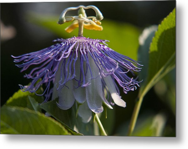 Passion Fruit Metal Print