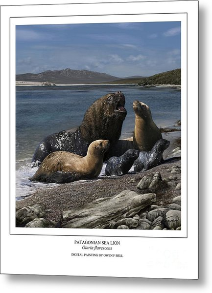Patagonian Sea Lion Bull With Harem And Pups Metal Print by Owen Bell