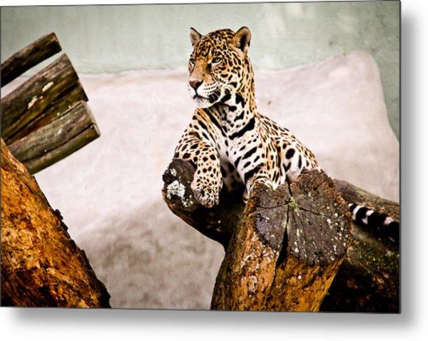 Patient Jaguar Metal Print by Ezequiel Rodriguez Baudo