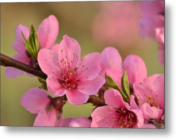 Peach Beautiful Metal Print