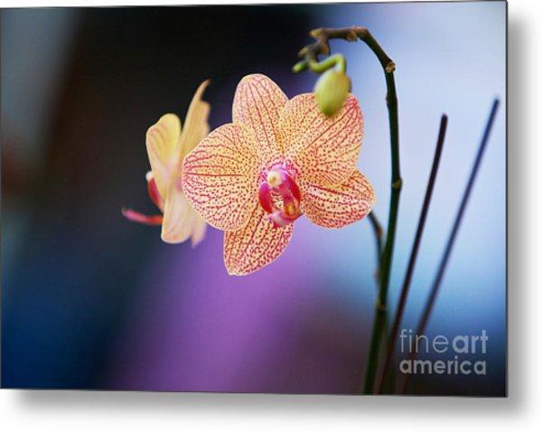 Peach Orchid Metal Print