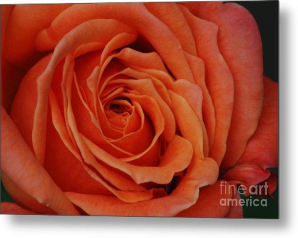 Peach Rose Close-up Metal Print
