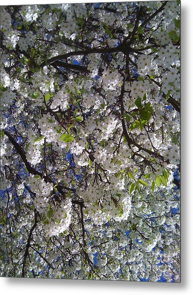 Pear Tree Blossoms Metal Print