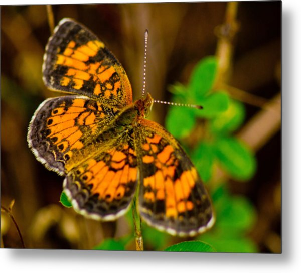 Pearl Cresent Butterfly 2 Metal Print by Barry Jones