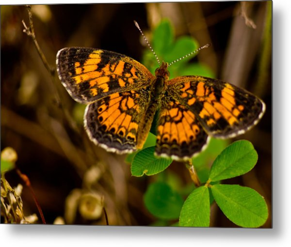 Pearl Cresent Butterfly Metal Print by Barry Jones
