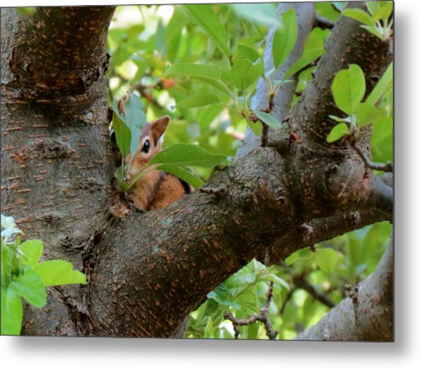 Peeking Chipmunk Metal Print